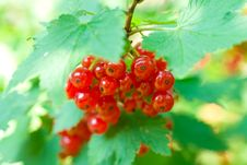 Free Twig Of Red Currant Stock Images - 14347334