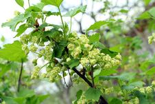 Blossoming Black Currant Royalty Free Stock Photo
