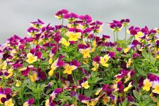 Free Flower Bed Of Pansies_2 Stock Photo - 14348500