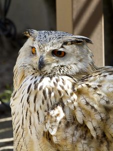 Free Owl Portrait Royalty Free Stock Photography - 14348757