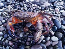 Free Big Crab Siting On Stones Royalty Free Stock Photography - 14348767