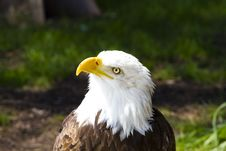 Free American Bald Eagle Stock Photos - 14348823