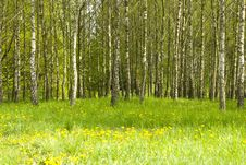 Birch Grove And Dandelions Royalty Free Stock Image