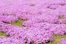 Free Carpet Of The Purple Flowers Royalty Free Stock Photography - 14349057