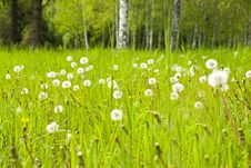 Free Dandelions In The Meadow Stock Image - 14349081