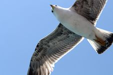 Free Seagull Stock Images - 14349184