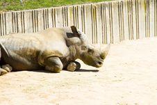 Free White Rhino (Ceratotherium Simum) Stock Photography - 14349202