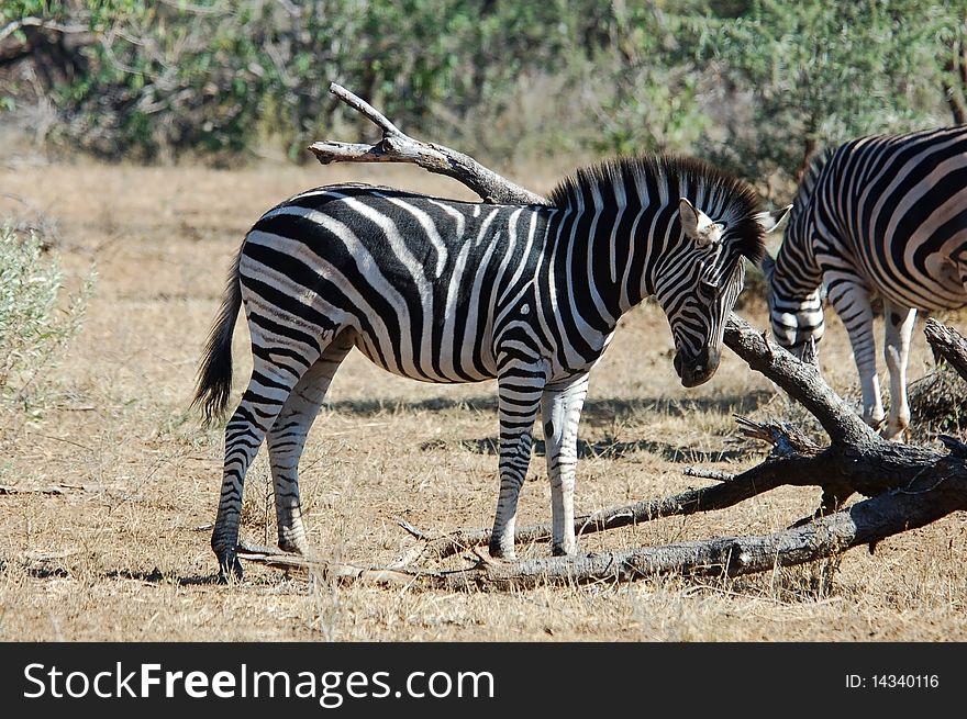 Burchell s Zebra in Africa