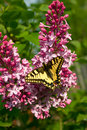 Free Swallowtail Butterfly Stock Photos - 14350133