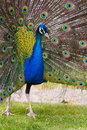 Free Peacock Royalty Free Stock Photo - 14350535