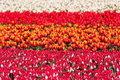 Free Field Of Colorful Tulips Royalty Free Stock Photo - 14351845