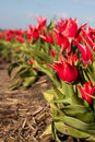 Free Tulips In Field Stock Image - 14351921