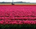 Free Dutch Flowers Royalty Free Stock Images - 14352029