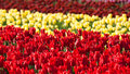 Free Flowerbed Of Tulips Of Different Colors Royalty Free Stock Photography - 14352267