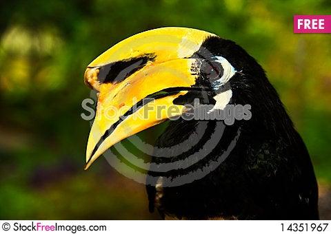 Oriental pied hornbill Stock Photo