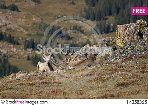 2 Bighorn sheep in Rocky Mountain National Park Stock Photo