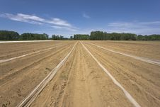Free Asparagus Field Stock Photography - 14350252