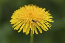 Free Common Dandelion - Taraxacum Stock Photography - 14350272
