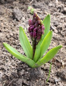 Free Bud Of A Hyacinth Stock Photography - 14350342