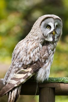Free Great Grey Owl Royalty Free Stock Photography - 14350377
