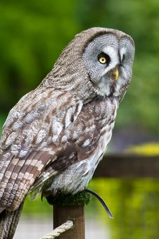 Free Great Grey Owl Stock Photo - 14350410