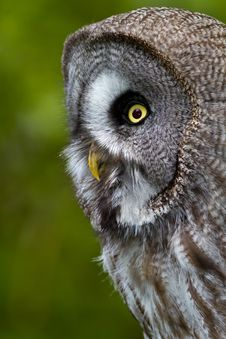 Free Great Grey Owl Stock Image - 14350411