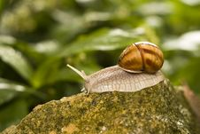 Free Snail Royalty Free Stock Images - 14351189