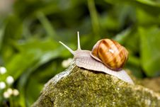 Free Snail Royalty Free Stock Photos - 14351238