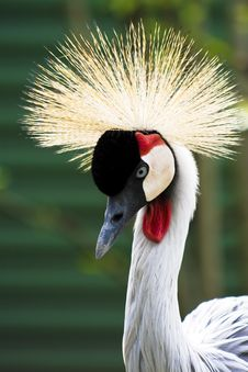 Free Crowned Crane Royalty Free Stock Photos - 14351248