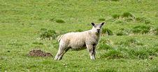Free Lamb Stock Photos - 14351263