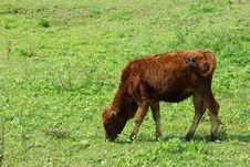 Free Brown Cows Royalty Free Stock Photos - 14351338