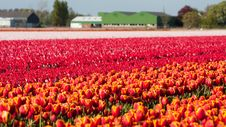 Free Field Of Colorful Tulips Royalty Free Stock Image - 14351766