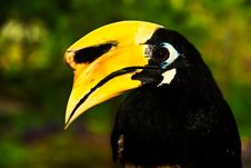 Free Oriental Pied Hornbill Royalty Free Stock Photography - 14351967