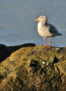 Free Seagull On Rock Royalty Free Stock Image - 14353656