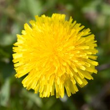 Free Yellow Dandelion Stock Images - 14353984