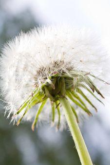 Free White Fluffy Dandelion Stock Photo - 14354020