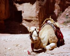 Camel Resting At Petra, Jordan Stock Images