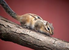 Free Chipmunk Stock Photos - 14354883
