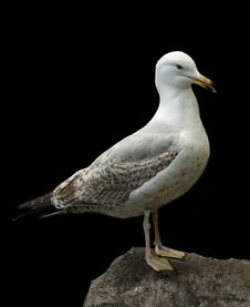 Free Seagull On A Rock Stock Photography - 14354912