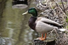 Duck On Green Grass Royalty Free Stock Image