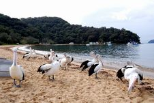 Free Hungry Pelicans Royalty Free Stock Photos - 14355018