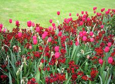 Free Red Tulips Royalty Free Stock Photos - 14355178