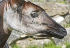 Free Okapi Stock Photography - 14355542