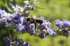 Free Bee Pollinating Purple Flowers Royalty Free Stock Photos - 14355908