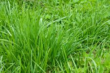Free Lawn Grass Royalty Free Stock Images - 14356189
