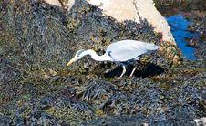 Free Heron Royalty Free Stock Image - 14356486