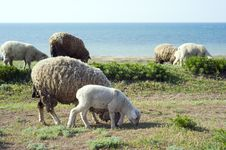 Free Herd Of Sheep Royalty Free Stock Images - 14356589