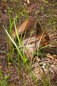 Free The Squirrel In Wood Royalty Free Stock Image - 14356926