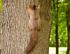 The Squirrel On A Tree Stock Image