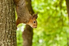 The Squirrel On A Tree Stock Photos
